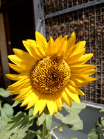 A large sunflower looking beautiful