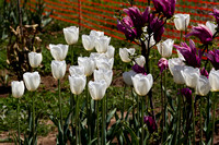 White and purple tulips inside the Tulip Garden in Srinagar