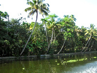 Coconut trees and other plants lined up next to a creek