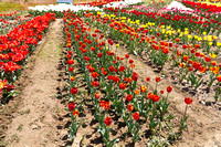 Rows of tulips of different colors inside the Tulip Garden in Sr